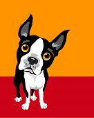 foto of bull  - Illustration of a Boston Terrier Dog - JPG