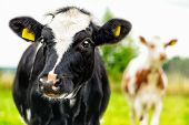 stock photo of calf  - Two curious cow calfs during a summer day