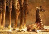 Постер, плакат: Baby жираф и взрослых ноги