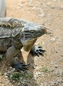 foto of goanna  - Komodo dragon sitting on the sand under the sun - JPG