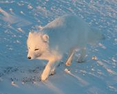foto of arctic fox  - An arctic fox searches for food in the snow near Churchill Manitoba