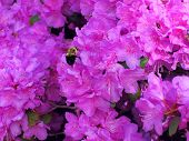 Purple Azaleas with Buzzing Bee