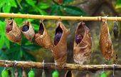 image of cocoon  - birth of butterflies from cocoons - JPG