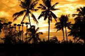 Coconut trees against sun set