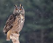 foto of snow owl  - A Eurasian Eagle Owl  - JPG