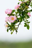 foto of wild-brier  - Beautiful blooming wild rose bush at spring - JPG