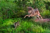 stock photo of coyote  - Coyote (Canis latrans) Pounces After Pup - Pup in Motion - captive animals