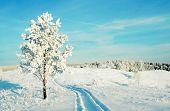 pic of snowy hill  - Lonely pine snow covered on the hill - JPG