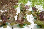 picture of hydroponics  - Young hydroponic vegetable grown in a nursery - JPG