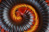 stock photo of millipede  - Millipedes are heavily armored - JPG