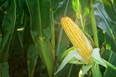 picture of corn  - Corn Maize Ear with ripe yellow seed on stalk of a fully grown corn plant in cultivated agricultural field - JPG