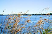 pic of marsh grass  - View of the lake through blowing reeds