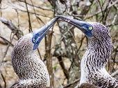 picture of booby  - Close up of blue footed booby at Galapagos island of North Seymour - JPG