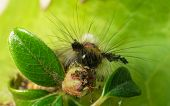 picture of moth larva  - A hairy vividly coloured Vapourer moth caterpillar - JPG