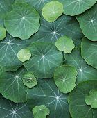 pic of nasturtium  - Green Nasturtium leaves - JPG