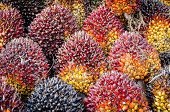 picture of biodiesel  - Background of Palm Oil Fruits on the floor at Thailand - JPG