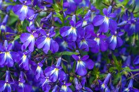 image of lobelia  - Blue lobelia flowers lobelia erinus closeup background [[** Note: Shallow depth of field] ** Note: Visible grain at 100%, best at smaller sizes - JPG