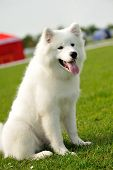 image of laika  - Laika dog on the green field with blurred background - JPG