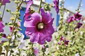 image of hollyhock  - Hollyhock in an empty street in a village on Ile d - JPG