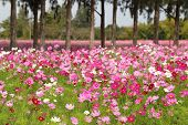 stock photo of cosmos flowers  - the pink Cosmos flower in the field - JPG