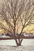 pic of walnut-tree  - Landscape photo of empty walnut tree with bare crown in winter next to rural village in empty white field on snow contryside sunrise or sunset time.