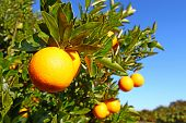 image of florida-orange  - The beautiful orange groves of Florida on a sunny day.