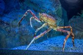 stock photo of crab  - Big crab climbing a stone in tank at the aquarium - JPG