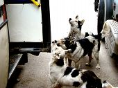 picture of stray dog  - a pack of stray street dog asking for food near the bus - JPG