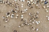 picture of cockle shell  - Empty cockle shells on sand on a beach in Sylt Germany - JPG