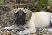 image of puppy eyes  - A big eyed big eared puppy with dirt on its nose is looking stright ahead - JPG