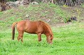 stock photo of pony  - pony in a greein field in Jeju Island Korea - JPG