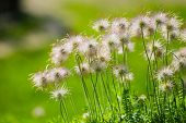 stock photo of rebel  - Rebel flowers grow on the green grass - JPG