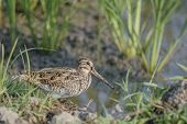 picture of snipe  - Bird  - JPG