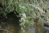 picture of dogwood  - White Crab Apple or Dogwood Tree in spring starting to bloom with brook in background - JPG