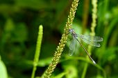 image of dragonflies  - Nice dragonfly on a grass on the flower of grass - JPG