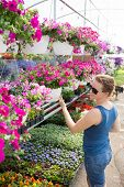 picture of petunia  - Trendy woman selecting nursery plants looking at shelves of potted pink petunias above an assortment of smaller flowering plants as she chooses houseplants to beautify her home in spring - JPG