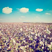 picture of boll  - Ripe Cotton Bolls on Branch Ready For Harvests Retro Effect - JPG