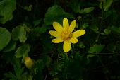 picture of yellow buds  - Lesser celandine bright yellow flower with morning dew on petals next to a bud in the bush green leaves - JPG