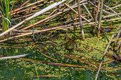 picture of algae  - A frog hidden by algae in this marshland in Eastern Pennsylvania - JPG