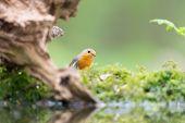 stock photo of robin bird  - European Robin bird in forest - JPG