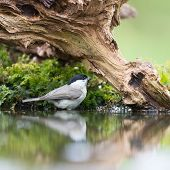 foto of tit  - Marsh tit passerine bird in tree - JPG