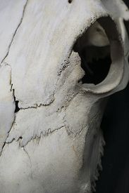 image of eye-sockets  - A up close photo of a cow skull with the focus on the eye socket and cracks in the bone - JPG