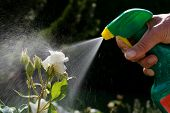picture of pesticide  - Roses in a garden are sprayed with a pesticide - JPG