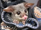 stock photo of possum  - Young orphaned Brushtail Possum Trichosurus vulpecular - JPG