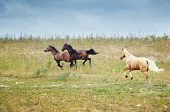 picture of hackney  - Three horses running in the steppe - JPG