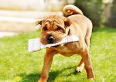 picture of shar pei  - adorable shar pei dog carrying newspaper over green natural background outdoor - JPG