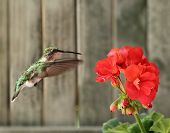 Ruby-throated Hummingbird And Geranium
