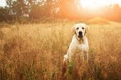Beautiful Labrador In Autumnal Field poster