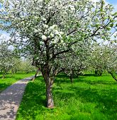 image of apple tree  - spring blooming apple tree in bright green orchard - JPG