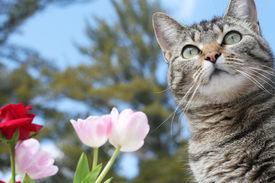 stock photo of tabby-cat  - Beautiful gray tabby cat among the flowers - JPG